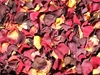 Harvest Blend Rose Petals for Pathways